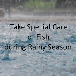 बारिश में आपको अपनी मछली कि विशेषरूप से देखभाल करने कि आवश्यकता होती